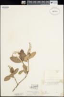 Image of Arctostaphylos diversifolia