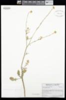 Hirschfeldia incana image
