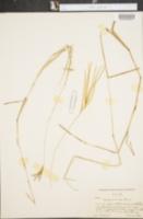 Axonopus aureus image