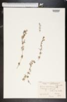 Image of Galium ochroleucum