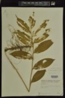 Maianthemum paniculatum image