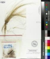 Image of Nassella trichotoma