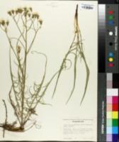 Crepis atribarba image