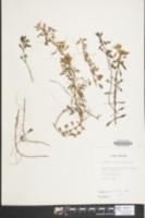 Image of Ludwigia brevipes