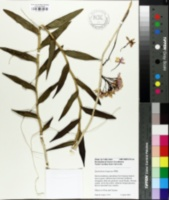 Image of Epidendrum ibaguense