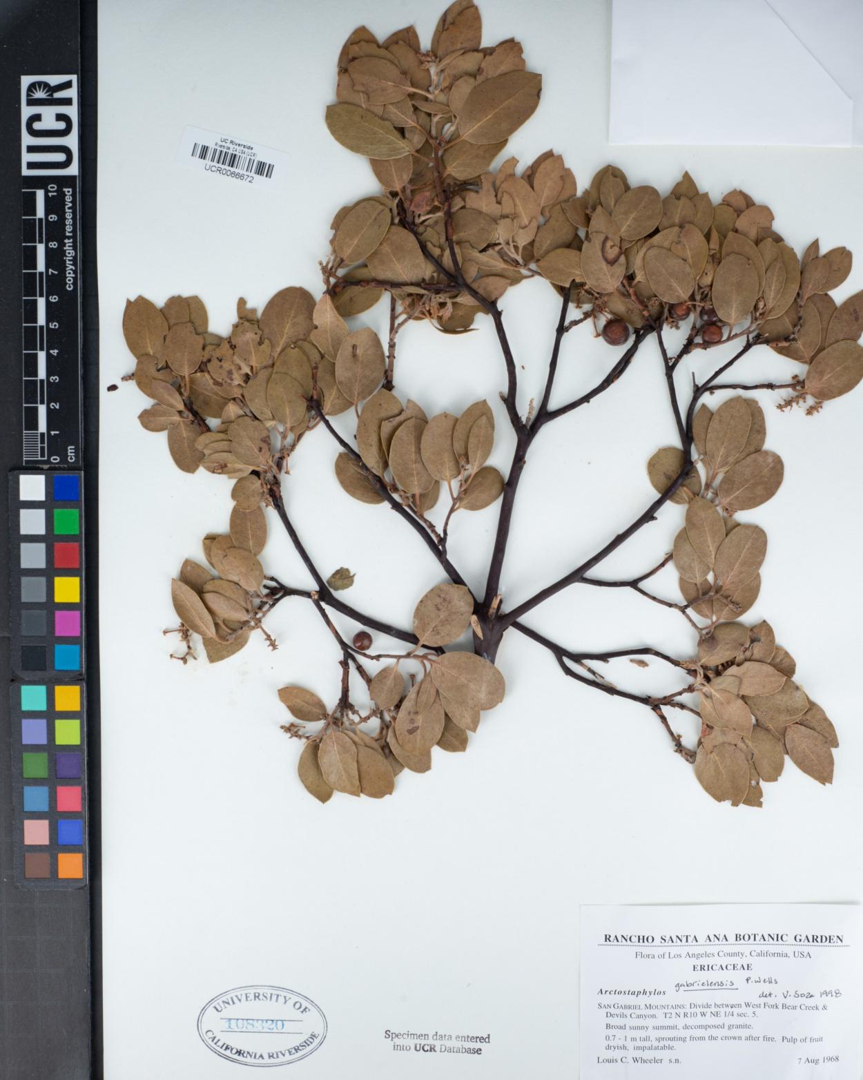 Arctostaphylos glandulosa subsp. gabrielensis image
