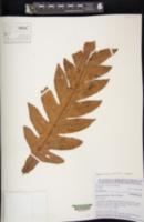 Aglaomorpha sparsisora image