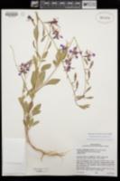 Clarkia mildrediae image