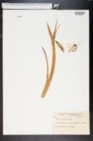 Image of Neomarica gracilis
