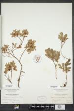 Vaccinium caespitosum image