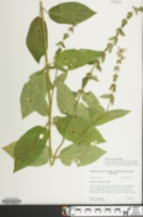 Image of Stachys subcordata