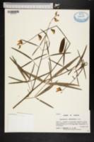 Image of Crotalaria ochroleuca