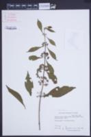 Image of Callicarpa cathayana