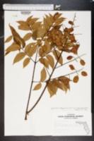 Koelreuteria elegans image
