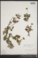 Wedelia trilobata image