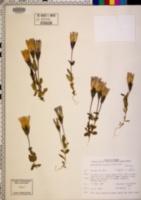 Image of Gentianella crinita