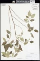Pipturus albidus image