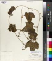 Cayaponia grandifolia image