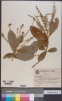 Image of Clethra scabra
