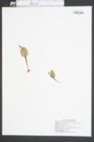 Ophioglossum engelmannii image