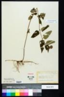 Monarda clinopodia image