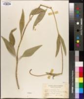 Helianthus scaberrimus image