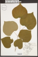 Cercis canadensis image