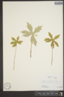 Image of Petasites palmatus