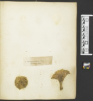Lactarius piperatus image