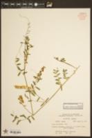 Vicia caroliniana image