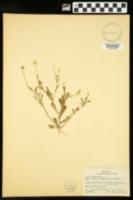 Astranthium integrifolium image
