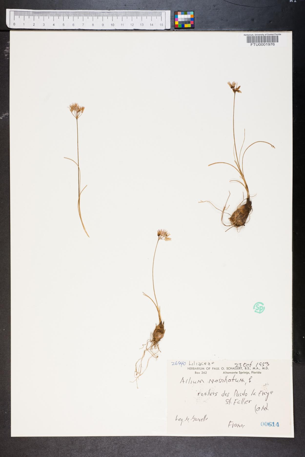 Allium moschatum image