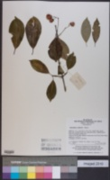 Image of Euonymus carnosus