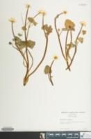 Image of Ranunculus ficaria