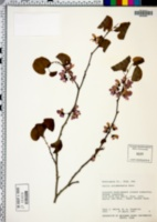Cercis occidentalis image