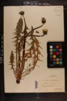 Image of Taraxacum copidophyllum