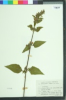 Image of Anisomeles indica