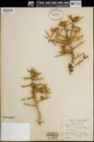 Koeberlinia spinosa image