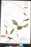 Hieracium albiflorum image