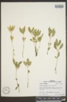 Image of Diodia dasycephala