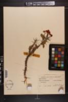 Euphorbia splendens image