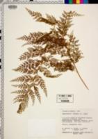 Sphenomeris chusana image