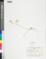 Image of Epidendrum tampense