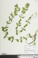Gratiola viscidula image