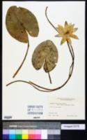 Image of Nymphaea jamesoniana