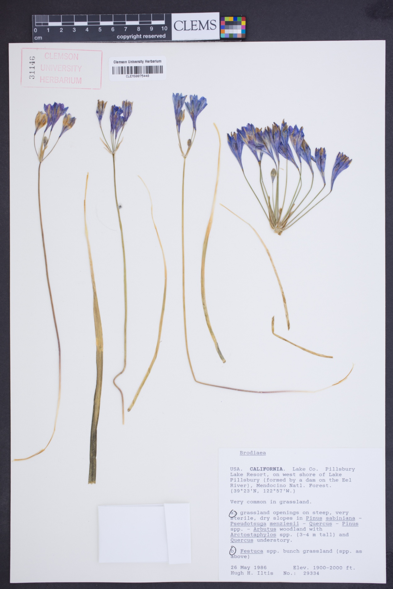 Brodiaea image