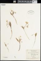 Image of Montia arenicola