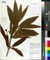 Image of Illicium mexicanum