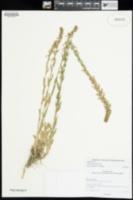 Lobelia fenestralis image