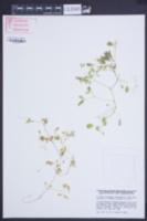 Ceratocapnos claviculata image
